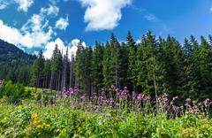 Pine forest in the Carpathians Stock Photos