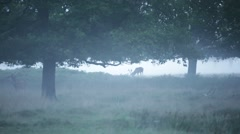 Red Deer in the fog, England, Europe Stock Footage