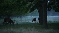 Red Deer in the dawn, England, Europe Stock Footage
