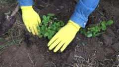 Man wearing yellow gloves planting  bunch of strawberries Stock Footage