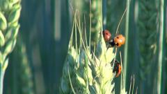 3 red ladybugs on sunny day climbing on wheat ear - stock footage