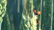Stock Video Footage of 3 red ladybugs on sunny day climbing on wheat ear