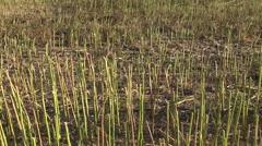 Stubble stalks of harvested rapeseed farmland field Stock Footage