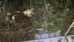 Frog in a pond urinating Stock Footage
