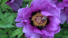 Common cockchafer trying to fly from  peony flower Stock Footage