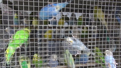 Many budgerigars in small cage in Asia market Stock Footage