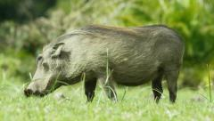 6K R3D - Warthog - grazing, from side. African animal pig hog 4K uhd ultrahd Stock Footage