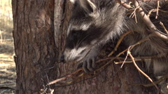 Raccoon animal wildlife caught in trap close face view 4K Stock Footage