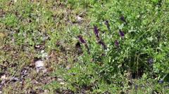 Black Butterfly On Purple Lupine Flowers Green Plants Stock Footage