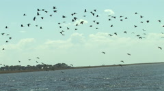 Large Flock of Birds in the Chobe National Park BOTSWANA Stock Footage