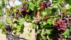 Dolly shot of red grapes hanging on a vineyard Stock Footage
