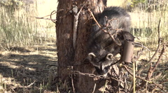 Raccoon trapped at base of apple tree 4K Stock Footage
