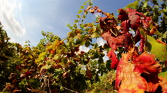 Vines with red leaves in autumn - stock footage
