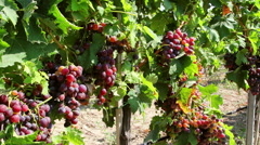 Dolly shot of red grapes hanging on a vineyard - stock footage