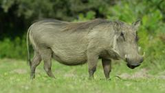 6K R3D - Warthog - looking at camera, then eating, side view. Africa 4K uhd Stock Footage