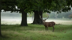 Adult Red deer stag grazing, England, Europe Stock Footage