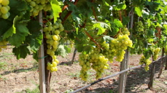 Dolly shot of white grapes hanging on a vineyard - stock footage