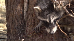 Raccoon wildlife in trap close on face 4K Stock Footage