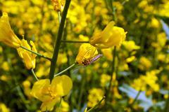 Yellow twig rape on the field. - stock photo