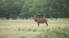 Red deer grazing, England, Europe Stock Footage