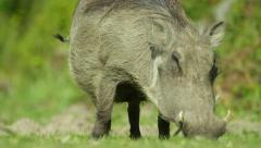 6K R3D - Warthog - grazing, from front, close up, tail swinging. African 4K uhd Stock Footage