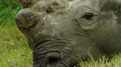 6K R3D - White Rhino - lying down, extra close of head, dehorned 2. 4K uhd Stock Footage