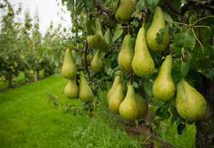 Pear harvest Stock Photos