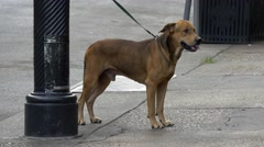 Dog leashed on street Stock Footage