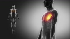 Pectoralis major - muscle anatomy with muscular map Stock Footage