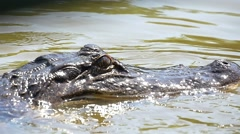 Slow motion close-up of alligator Stock Footage