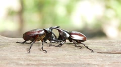 Dynastinae or rhinoceros beetles Stock Footage