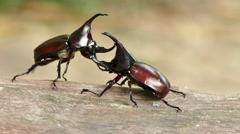 Rhinoceros beetle horn uses to lift and shove its opponent. Stock Footage