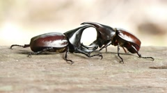 Individual fighting style of Rhinoceros beetle Stock Footage
