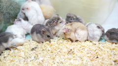 Video of Hamsters playing and eating together Stock Footage