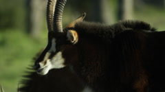 6K R3D - Sable Antelope - large male, head from side. Africa antelope 4K ultrahd Stock Footage