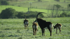 6K R3D - Sable Antelope - herd in green field. Africa antelope group family 4K Stock Footage