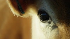 Stock Video Footage of 6K R3D - Brown Cow - close up of eye