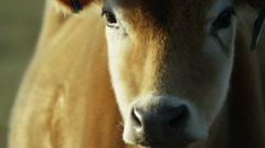 6K R3D - Brown Cow - close up of face, turns to right. Soft bovine sad tear cry Stock Footage