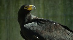 6K R3D - Verreaux's Eagle or Black Eagle - turns head, one eye missing. 4K uhd - stock footage