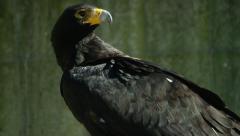 6K R3D - Verreaux's Eagle or Black Eagle - looking around. Raptor 4K uhd Stock Footage