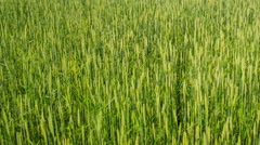 Time lapse green wheat field summer day Stock Footage