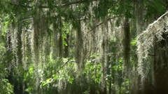 Spanish moss tracking shot Stock Footage