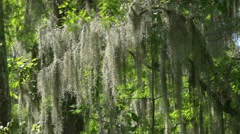 Spanish moss in swampland Stock Footage