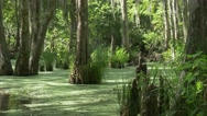 Stock Video Footage of Camera tracking shot with pan in louisiana swamp