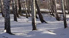4K Heavy snow old trunk tree wood winter season explore woodland wild nature day - stock footage