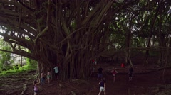 Large Banyan Tree at Wailuku River State Park in Hilo, Hawaii Stock Footage