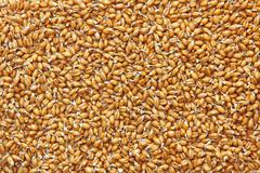 Germinated wheat grains as food background. - stock photo