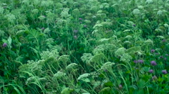 High grass and flowers on a wind Stock Footage