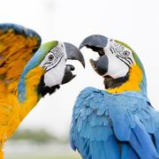 Blue-and-Yellow Macaw (Ara ararauna), also known as the Blue-and-Gold Macaw - stock photo