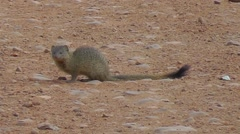 Banded Mongoose sitting on the ground looking around Stock Footage